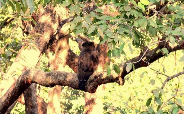 An owl in Bandhavgarh