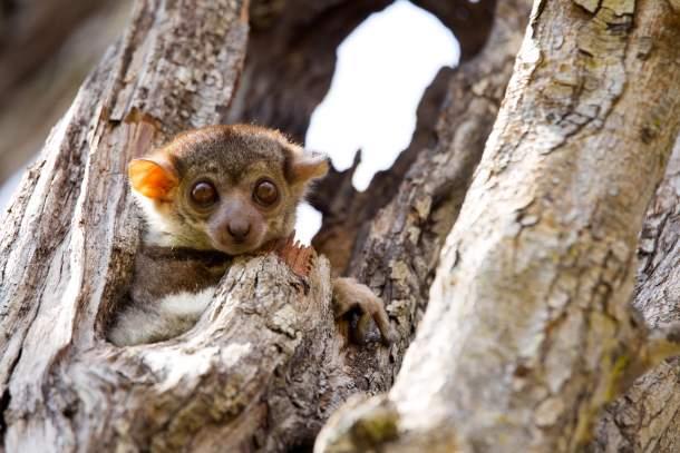 Ankaran Sportive Lemur