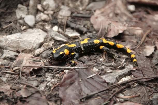 Black and yellow salamander