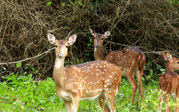 Herd of deer at Nagarhole National Park