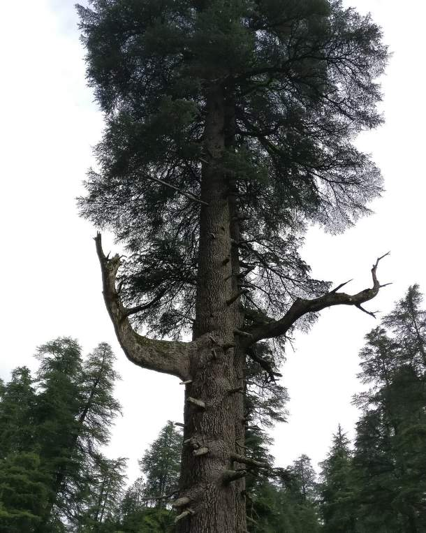 Joint Deodar Tree, Jageshwar