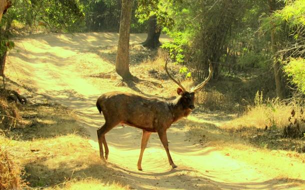 Male Sambar in Bandhavgarh