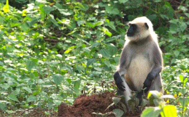Monkey spotted at Nagarhole National Park, Mysore