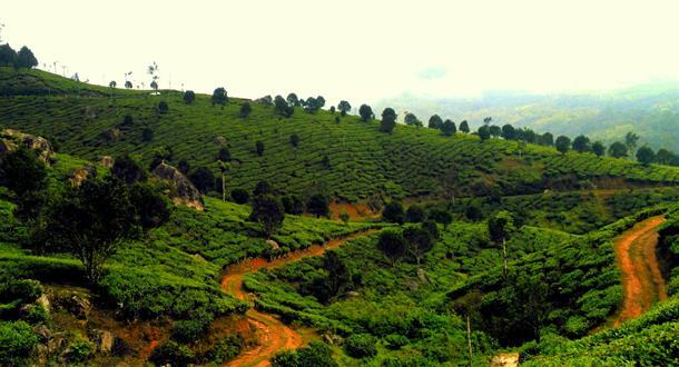 Munnar - Thekkady Tea Estate