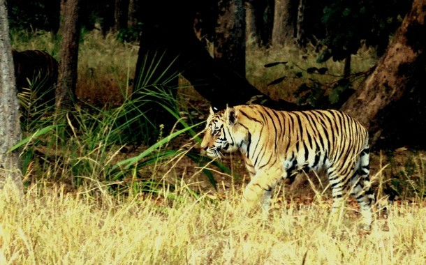 Raj Behera- full grown cub