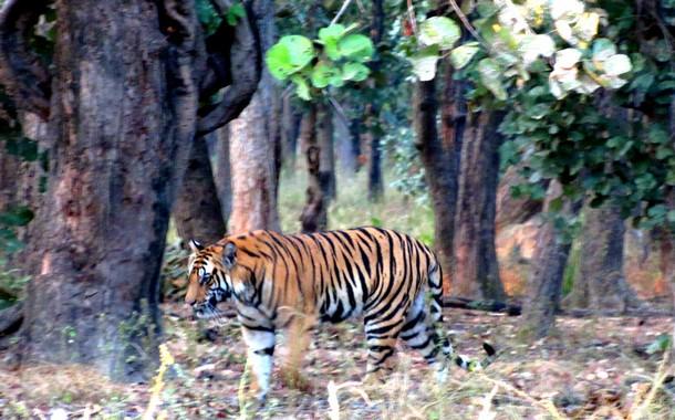 Raj Behera-s full grown cub walking like a king