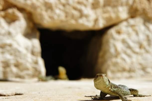 Rare species of lizards