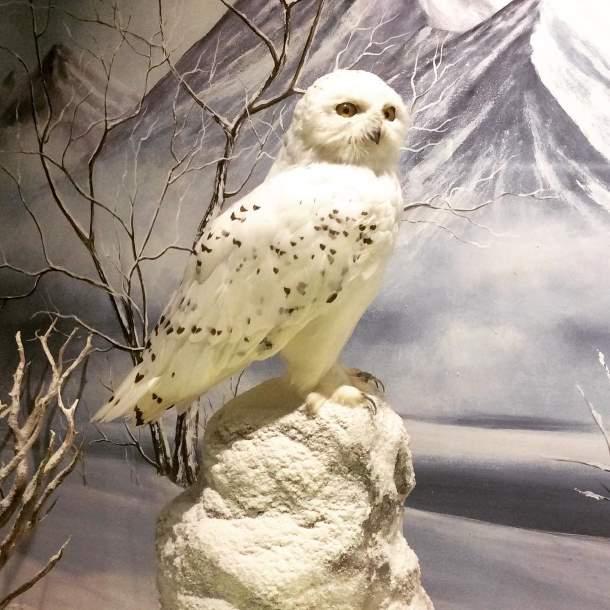 Snowy Owl, Greece
