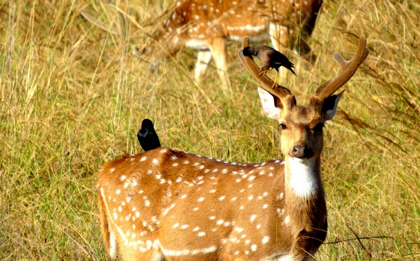 Spotted Deer with Drongo
