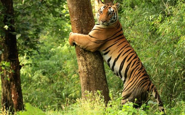 Tiger_Bandhavgarh_National_Park