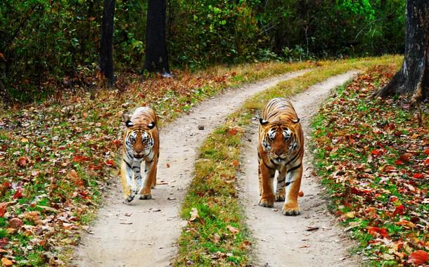 TigerTigress, Kanha