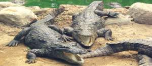 Biggest crocodile sanctuary in India has reptiles for adoption
