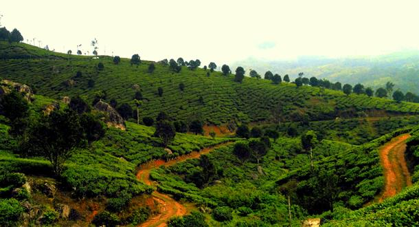 Munnar - Thekkady Tea Estate
