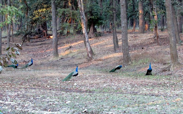 Peacocks scattered in Bandhavgarh