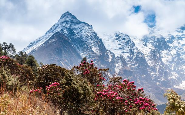 Rhododendrons in Himalayas