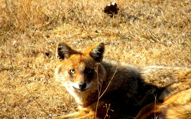 Smiling jackal in Kanha