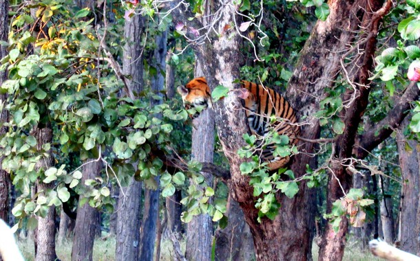 Tiger sleeping on a branch in Bandhavgarh